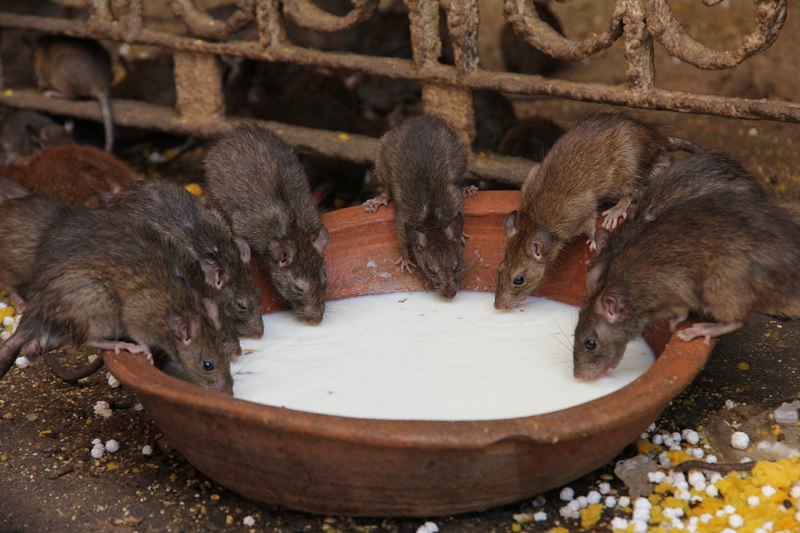 Temple Of Rats - Karni Mata Temple, Rajasthan