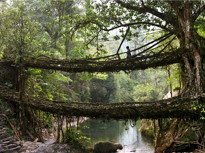 Living Roots Bridge - Cherrapunji, Meghalaya